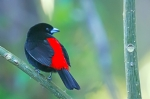 Scarlet-rumped Tanager.